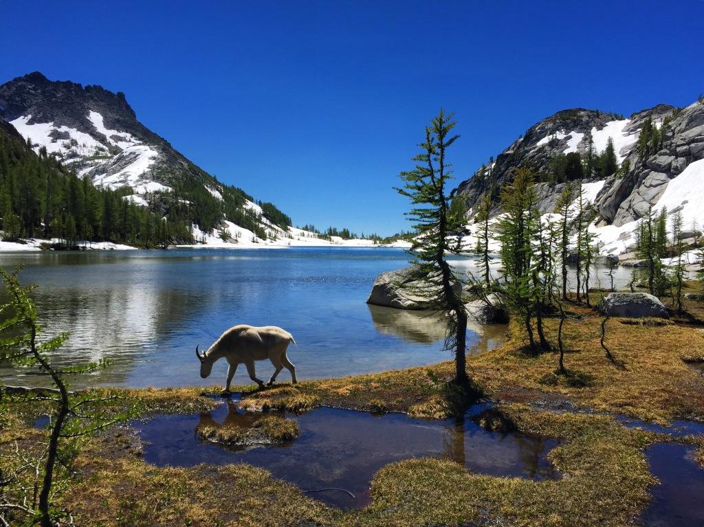 lake perfection goat